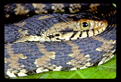 This is the Florida Banded Water Snake.  I do not have a herp book with me right now and so I am not able to give you the scientific or Latin name.  But this common name is very widely accepted so that you will know which snake this is.  Here is what I want you to take from from this:  This snake is often killed in the great Southeast simply because some Good-Ole Boy mistakes it for the most maligned snake in the Southeast......the Water Moccasin or Cottonmouth.  This snake is non-poinsonous.  But then, you should already know this.