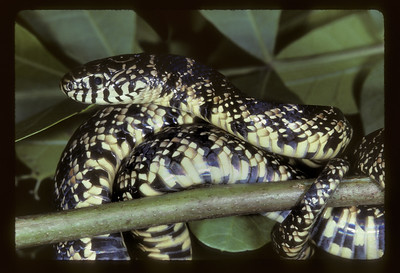 Eastern, Common or Chain Kingsnake (Lampropetis getula), caught/released, Everglades, November 1988