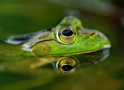 The survival challenge that faces every American Bullfrog.