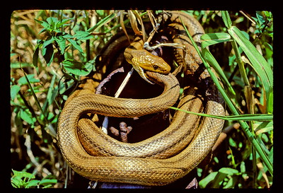 Rat snakes (Elaphe obsoleta) in courting ritual:  One snake's head inside the  other's.  That is right; there are two snakes in this picture and one is voluntarily putting its head inside the other snake's mouth.  Look at that at the lower, dark-shadowed gap below the snake's head.  See the rusty piece of metal?  That is an  old link of chain that is welded to end of the galvanized pipe you should also be able to see.  This is all part of an swinging gate at the entrance to one of the Everglades Water Conservation Areas....as I recall it is the L-38 canal gate in far western EWCA 3A North.  When I first encountered this, the snakes were inside the galvanized pipe I though one was eating the other.