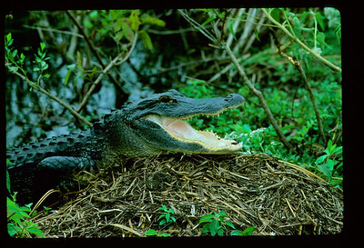 Female alligator (Alligator mississipiensis) on her nest, Everglades WCA 3ANorth