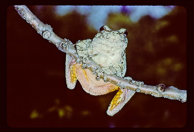 Gray treefrog (Hyla versicolor) on branch