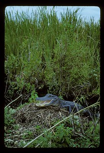 I found this female and her active nest of eggs in the northern Everglades.  I repeatedly visited her but told nobody else about the nest.  She nested successfully.