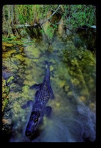 Taken from a foot bridge, this image of a  10' long Alligator (Alligator mississipiensis) shows it moving within the cloak of darkness,  against a current and out into a pond to hunt.     It had just turned dusk and IT WAS SIGNIFICANTLY DARKER THAN YOU SEE IN THIS IMAGE.  Had I left the image at the darkness it actually was, you would not have been able to discern this animal within the much darker scene.    Behind the gator is the willow thicket that it slept in all day and behind me (and the camera) is the open marsh that the gator is headed into for a night of hunting.