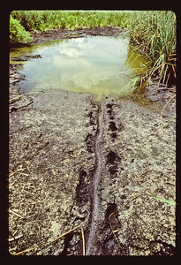 Alligator (Alligator mississipiensis) tracks. Showing that this alligator left its  home pond as a result of a drought, in search of bigger waters.  Everglades drought of 1989 , Florida, USA