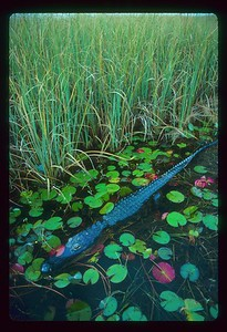 "Here is a wild American alligator in an Everglades slough (pronounced ""sloo"") abutting a Sawgrass strand in the top of the frame.  Sawgrass is the principle habitat type in the Everglades freshwater marsh.  Aptly named, and due to the jagged edges of its stem, sawgrass will literally cut you to the bone if by mistake, you happen to drag a strand of it through your hand while gripping it even moderately tightly.     Sloughs might be thought of as the rivers or arteries of the marsh.  The slough is the deepest habitat type.  The water depth under this alligator is probably around 2-3 feet.  But the bottom is very, very mucky and largely in solution.  I was standing in an airboat when this picture was taken.  If I stepped out of the boat and into the sawgrass I would probably go down to about mid-thigh and abruptly hit a moderately firm bottom.  Not so with the slough.  There is no telling how deep I would go if I jumped into it.......but possibly right up to my chest and maybe even my neck."