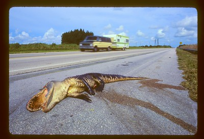 This is a large, roadkilled Alligator (Alligator mississipiensis) I found on SR 19 (Florida west side) just as you see it.  It had probably tried crossing this highway the previous night, probably near dawn.  I can't imagine someone blundering into such a large, slow-moving animal in daylight.