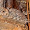 Baby Horned Lizard
