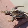 Western Fence Lizard, Sceloporus occidentalis, in Lyons, Colorado