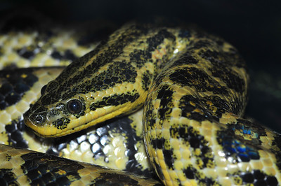 © Joseph Dougherty. All rights reserved.  Eunectes notaeus  Cope, 1862  Yellow Anaconda