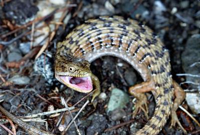 © Joseph Dougherty. All rights reserved.    Elgaria coerulea ssp. coerulea   (Wiegmann, 1828)  San Francisco Alligator Lizard   A San Francisco Alligator Lizard shows its defensive threat posture.