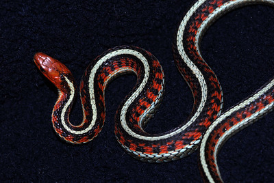 """© Joseph W. Dougherty. All rights reserved.   Thamnophis sirtalis ssp. infernalis   (Blainville, 1835)  California Red-sided Garter Snake   The subspecies epithet, infernalis, means """"from Hell,"""" in reference to the red flames that appear to arise along the flanks of this gorgeous animal.     California Red-sided Garter Snake, Thamnophis sirtalis ssp. infernalis (Blainville, 1835)   The subspecies name, infernalis, meaning """"from Hell,"""" refers to the colorful red markings that look like flames rising along the flanks of this beautiful snake."""