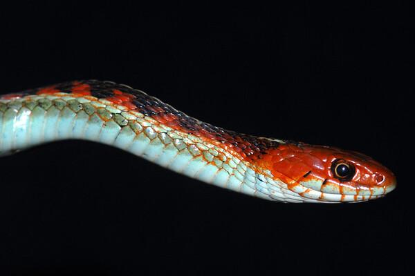 California Reptiles