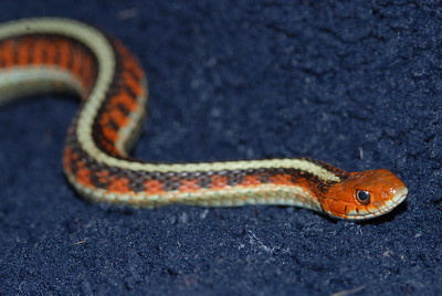 """© Joseph W. Dougherty. All rights reserved.   Thamnophis sirtalis ssp. infernalis   (Blainville, 1835)  California Red-sided Garter Snake   The subspecies epithet, infernalis, means """"from Hell,"""" in reference to the red flames that appear to arise along the flanks of this gorgeous animal."""