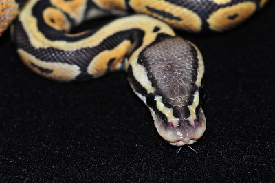 """© Joseph Dougherty. All rights reserved.  Python regius  (Shaw, 1802) --  Ball Python  Pastel Orange Ghost morph. This young male is named """"Saffron.""""  This terrestrial species is known for its defense strategy that involves coiling into a tight ball when threatened, with its head and neck tucked away in the middle. In this state, it can literally be rolled around. Favored retreats include mammal burrows and other underground hiding places where they also aestivate. In captivity they are considered good pets, for their relatively small size and placid nature make them easy to handle. Captive bred adults rarely bite."""