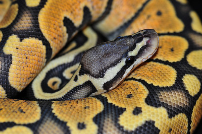 """© Joseph Dougherty. All rights reserved.  Python regius  (Shaw, 1802) --  Ball Python  Pastel Orange Ghost morph. This young male is named """"Saffron.""""  This species is particularly revered in the traditional religion of the Igbo people of southeastern Nigeria. It is considered symbolic of the earth, being an animal that travels so close to the ground. Even among many Christian Igbos, these pythons are treated with great care whenever they happen to wander into a village or onto someone's property; they are allowed to roam freely or are very gently picked up and placed out in a forest or field away from any homes. If one is accidentally killed, many communities in Igboland will still build a coffin for the snake's remains and give it a short funeral."""