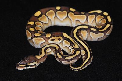 © Joseph Dougherty. All rights reserved.  Python regius  (Shaw, 1802) --  Ball Python  Lesser morph