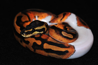 """© Joseph Dougherty. All rights reserved.  Python regius  (Shaw, 1802) --  Piebald Ball Python  Piebald morph  This young female is named """"Sweetie Pie."""""""