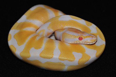 """© Joseph Dougherty. All rights reserved.  Python regius  (Shaw, 1802) --  Albino Ball Python  The eyes of an albino animal appear red because the color of the red blood cells in the underlying retinal blood vessels shows through where there is no pigment to obscure it.  This female is named """"Sugar."""""""