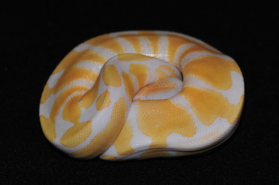 """© Joseph Dougherty. All rights reserved.  Python regius  (Shaw, 1802) --  Albino Ball Python  This head-tucking posture is common when a ball python feels unsecure or is disrupted from its routine. Once they feel comfortable again, they start unraveling and exploring.   This female is named """"Sugar."""""""