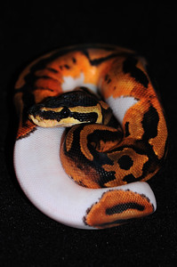 """© Joseph Dougherty. All rights reserved.  Python regius  (Shaw, 1802) --  Piebald Ball Python  Piebald morph.  This young female is named """"Sweetie Pie.""""  A nonvenomous python species found in Africa. This is the smallest of the African pythons and is popular in the pet trade. No subspecies are currently recognized. They are also known as royal pythons or ball pythons. The name ball python refers to the animal's tendency to curl into a ball when stressed or frightened. The name royal python (from the Latin """"regius"""") is based in part on the story that Cleopatra supposedly wore the snake around her wrist."""