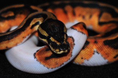 """© Joseph Dougherty. All rights reserved.  Python regius  (Shaw, 1802) --  Piebald Ball Python  Piebald morph  This young female is named """"Sweetie Pie.""""  Leucism is a condition characterized by reduced pigmentation in animals and humans. Unlike albinism, it is caused by a reduction in all types of skin pigment, not just melanin. Leucism is a general term for the phenotype resulting from defects in pigment cell differentiation and/or migration from the neural crest to skin, hair or feathers during development. This results in either the entire surface (if all pigment cells fail to develop) or patches of body surface (if only a subset are defective) having a lack of cells capable of making pigment.  Since all pigment cell-types differentiate from the same multipotent precursor cell-type, leucism can cause the reduction in all types of pigment. This is in contrast to albinism, for which leucism is often mistaken. Albinism results in the reduction of melanin production only, though the melanocyte (or melanophore) is still present. Thus in species that have other pigment cell-types, for example xanthophores, albinos are not entirely white, but instead display a pale yellow color."""