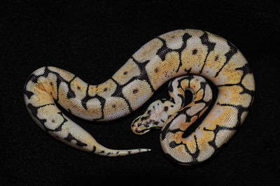 """© Joseph Dougherty. All rights reserved.  Python regius  (Shaw, 1802)    Ball Python  Bumble Bee morph  This young male is named """"Honey.""""  A nonvenomous python species found in Africa. This is the smallest of the African pythons and is popular in the pet trade. No subspecies are currently recognized. They are also known as royal pythons or ball pythons. The name ball python refers to the animal's tendency to curl into a ball when stressed or frightened. The name royal python (from the Latin """"regius"""") is based in part on the story that Cleopatra supposedly wore the snake around her wrist."""