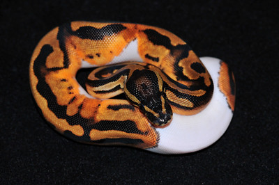 """© Joseph Dougherty. All rights reserved.  Python regius  (Shaw, 1802) --  Piebald Ball Python  Piebald morph  This young female is named """"Sweetie Pie.""""  A piebald or pied animal is one that has a spotting pattern of large unpigmented, usually white, areas of hair, feathers, or scales and normally pigmented patches, generally black. The color of the animal's skin underneath its coat is also pigmented under the dark patches and unpigmented under the white patches. This alternating color pattern is irregular and asymmetrical. Animals with this pattern may include horses, dogs, birds, cats, pigs, and cattle, as well as snakes such as the ball python. Some animals also exhibit coloration of the irises of the eye that match the surrounding skin (blue eyes for pink skin, brown for dark). The underlying genetic cause is related to a condition known as leucism."""