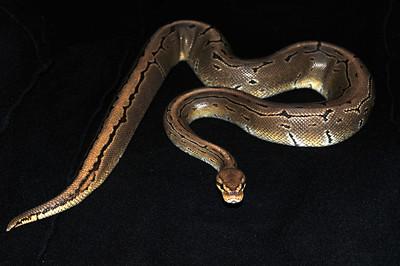 © Joseph Dougherty. All rights reserved.  Python regius  (Shaw, 1802) --  Ball Python  Pinstripe morph