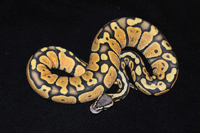 """© Joseph Dougherty. All rights reserved.  Python regius  (Shaw, 1802) --  Ball Python  Pastel Orange Ghost morph  This young male is named """"Saffron.""""  In the wild, ball pythons are found in Africa from Senegal, Mali, Guinea-Bissau, Guinea, Sierra Leone, Liberia, Ivory Coast, Ghana, Benin,and Nigeria through Cameroon, Chad and the Central African Republic to Sudan and Uganda."""