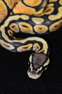 """© Joseph Dougherty. All rights reserved.  Python regius  (Shaw, 1802)  Ball Python  Pastel Orange Ghost morph. This young male is named """"Saffron.""""  In the wild, the diet consists mostly of small mammals, such as African soft-furred rats, shrews and striped mice. Younger individuals have also been known to feed on birds. Pythons that are imported from the wild tend to be picky eaters and may not respond to food as well as captive-bred pythons, which usually do well on domestic rats and mice, either live, pre-killed, or frozen-thawed. The size of the prey item given to a python should be equivalent to or slightly larger than the width of the largest part of their body. This python is known for being a picky eater and may not eat for months, particularly during the winter breeding season. While this is not odd, care should be taken to watch that the snake does not experience significant weight loss. Parasites can also cause the snake to not eat. Other causes of not eating are stress caused by overhandling, or too hot or cold temperatures and not enough areas to hide in the vivarium."""