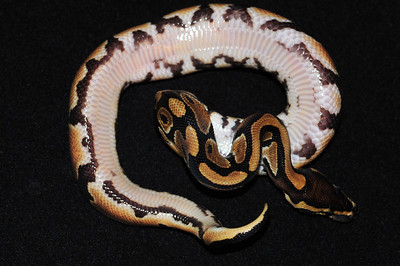 """© Joseph Dougherty. All rights reserved.  Python regius  (Shaw, 1802) --  Ball Python  This is a """"normal"""" appearing ball python, although the colors are a bit clearer and brighter than in wild animals, because this one is 100% Heterozygous for Piebald.   The characteristic """"rails"""" of black markings along the underside of the tail are a common feature of het pieds.   This young male is named """"Thyme."""""""