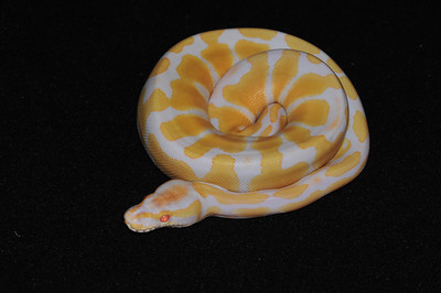 """© Joseph Dougherty. All rights reserved.  Python regius  (Shaw, 1802) --  Albino Ball Python  An albino wild-caught ball python was imported into the pet trade many years ago, and this kicked off a frenzied new craze, with herpetologists combing Africa looking for other """"variant"""" ball pythons.  Soon a number of other atypically patterned or colored animals had been found, and a whole new craze had begun.  Now there are countless varieties and combinations in captivity, but the basic clean look and sweet disposition of the regular albino still makes them a favorite among collectors.   This female is named """"Sugar."""""""