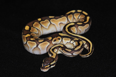 """© Joseph Dougherty. All rights reserved.  Python regius  (Shaw, 1802) --  Ball Python  Lesser morph  This young male's name is """"Curry."""""""