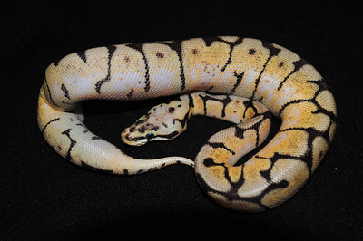 """© Joseph Dougherty. All rights reserved.  Python regius  (Shaw, 1802) --  Ball Python  Bumble Bee morph  This young male is named """"Honey.""""  Synonyms:     - Boa regia - Shaw, 1802     - [Enygrus] regi[us]. - Wagler, 1830    -  Cenchris regia - Gray, 1831   -  Python Bellii - Gray, 1842  -   Python regius - A.M.C. Duméril & Bibron, 1844  -   Hortulia regia - Gray, 1849  -   Python regius - Boulenger, 1893[1]"""