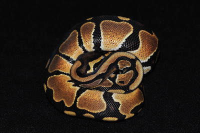 """© Joseph Dougherty. All rights reserved.  Python regius  (Shaw, 1802) --  Ball Python  This ball python is demonstrating how the species got its common moniker.   It shows the typical ball python colors and pattern, although the colors are a bit clearer and brighter than in wild animals, because this one is 100% heterozygous for Piebald.   The characteristic """"rails"""" of black markings along the underside of the tail are a common feature of het pieds.   This young male is named """"Thyme."""""""