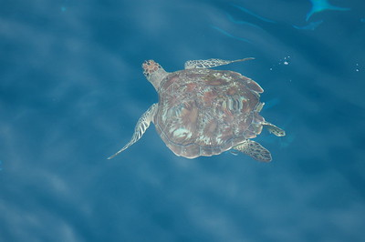 © Joseph Dougherty. All rights reserved.  Young green sea turtle (Chelonia mydas) swimming in the Similan Islands.  Andaman Sea, west coast of Thailand