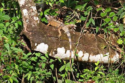Iguana - Panama