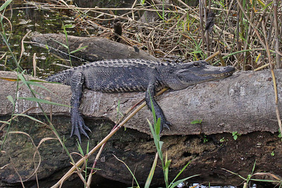 American Alligator - Everglades National Park, FL