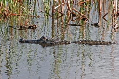 American Alligator - Anahuac NWR, TX