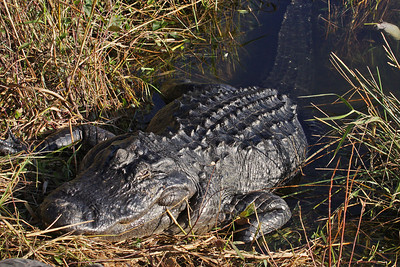 American Alligator - Everglades National Park, FL