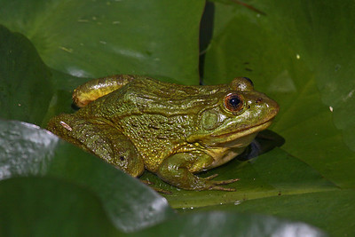 American Bullfrog - Miller Canyon, AZ