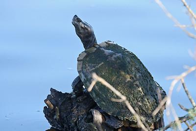 Mud Turtle - San Bernard NWR, TX