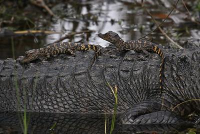 American Alligator with Babies - Everglades National Park, FL