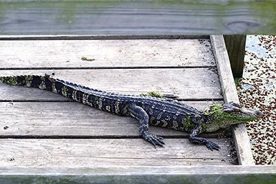 American Alligator - Brazoria NWR, TX