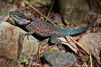 Yarrow's Spiny Lizard - Miller Canyon, AZ