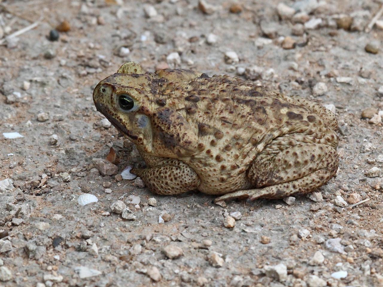 Cane Toad - Estero Llano Grande State Park, TX