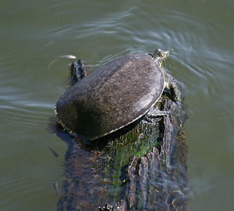 Soft-shelled Turtle - Smith Oaks, High Island, TX