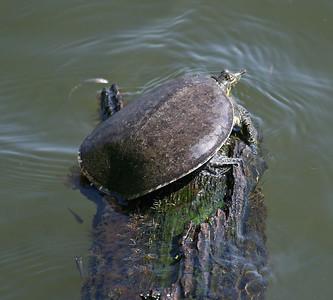 Soft-shelled Turtle - Smith Oaks, High Island, TX