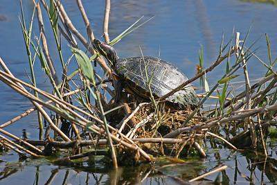 Red-eared slider Turtle - Anahuac NWR, TX